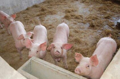 今日猪价,全国猪价近14元大关后市猪价涨势如何