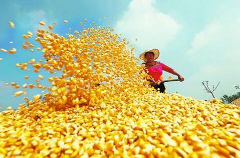 狼真的来了!玉米深加工业要当心外资冲击