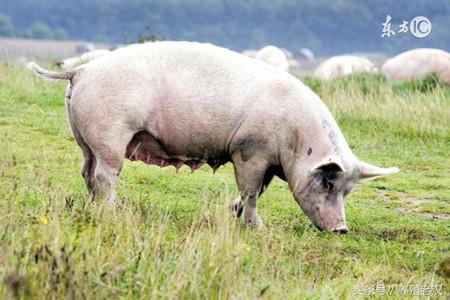 为什么母猪产后几天要少喂料?这样有什么好处?