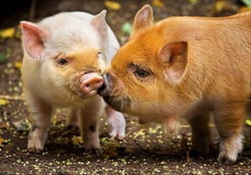 教你迅速诊断这5类猪病,降低猪场损失!