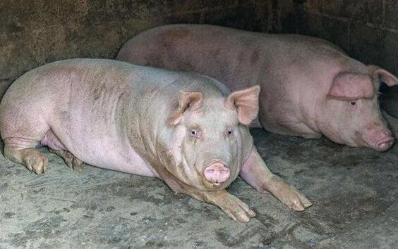 种猪公猪的饲养管理