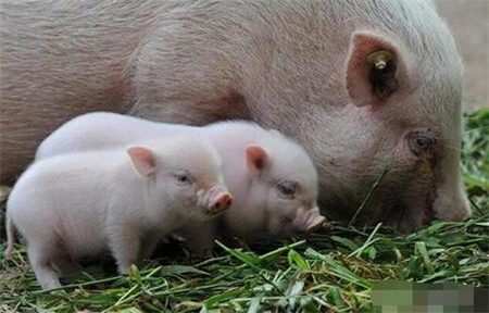 谈养猪过程中的杂料饲喂需要注意的几项问题!