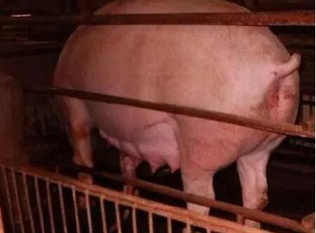 用激素鉴定母猪是否怀孕?不靠谱!