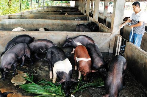 巧用水来治疗猪病,简单省钱