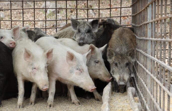 辽宁丹东:家猪与野猪交配,杂交猪基因突变不像猪,猪也很悲伤!