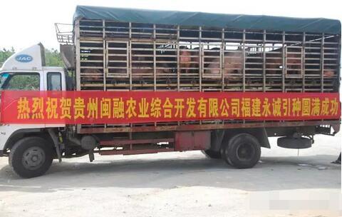 永诚伙伴——贵州闽融|每头母猪1万5纯利润