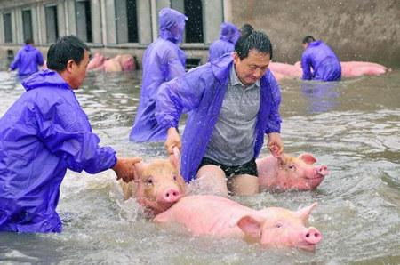 南方地区接连大雨,养猪场要注意这些问题