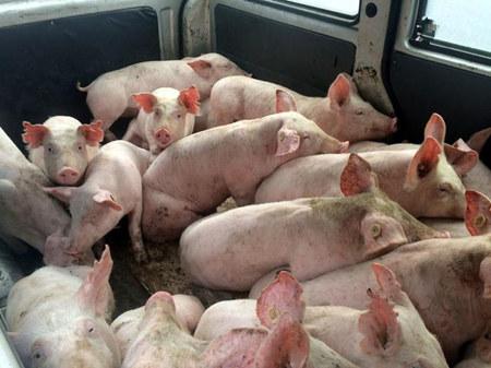 猪场抗生素保健已经成为过去时,现在怎么再给猪做保健?