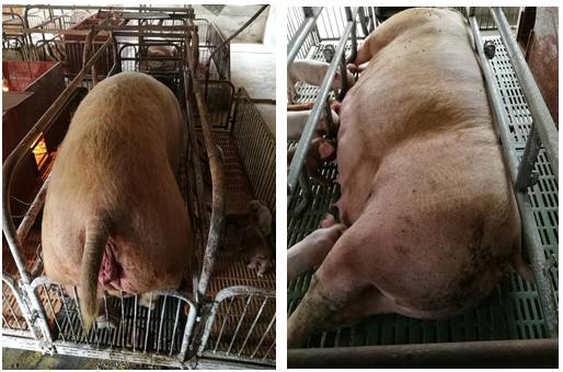高温高湿季节母猪突发死亡原因的探究