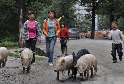 难赶的猪怎么转群?