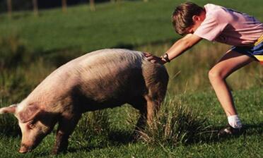 一只猪的用途有多大?你的生活早已离不开猪!