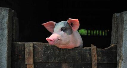 饲料发酵遇高温炸了猪场 咱养猪人伤不起