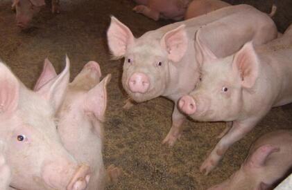 """近期猪价上涨过程缓慢,""""顺势而为""""""""看清趋势""""很重要!"""
