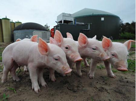 猪场饲喂管理中的注意事项!你忽略了没?