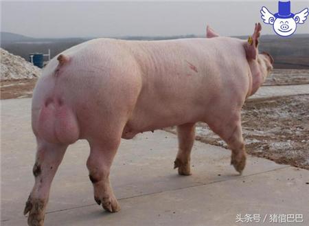 公猪的饲料应该如何调配,这三点是必须要注意的!