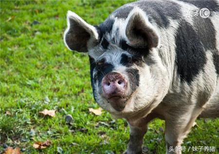 母猪难产,夏天减少损失,养猪人要知道这些抢救办法
