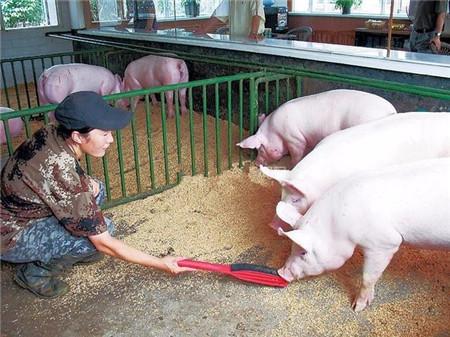 如何挑选优质猪饲料?猪饲料好坏如何区分?