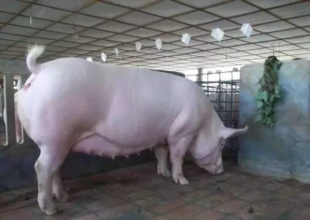 掌握这4点,母猪不再出现跑空车--假怀孕!