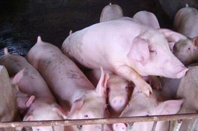 猪市不稳,7月猪价危机 背后的真相揭晓!