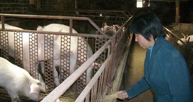 给猪群喂料,有时候自己饿着也不能让猪群饿着,就算是过春节,还得在猪舍里忙活。