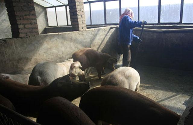 一天到晚就没有闲过,喂过猪之后还要负责打扫猪舍,保证猪群居住在一个好的环境中。