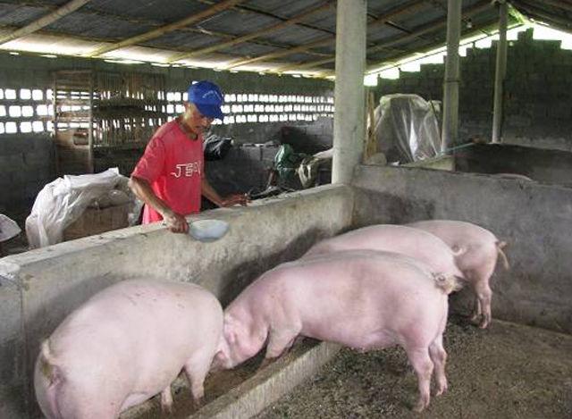 现在夏天过去了还好,遇到盛夏为了提高猪群的采食量,很多养猪户半夜就起来给猪喂猪。