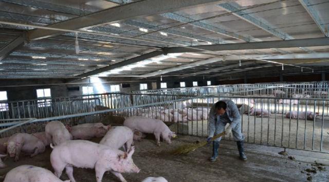 用扫把清理猪粪,或者是用消毒液给猪群消毒,这哪一样都得亲力亲为。如果猪粪清理不及时,影响周围的环境,当地村民肯定也会有意见。