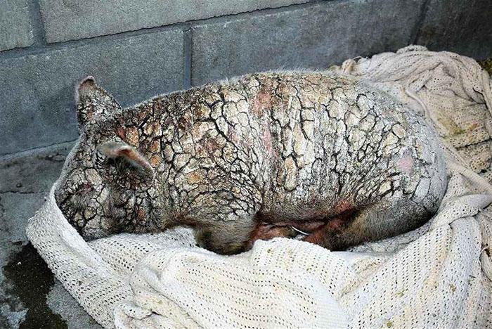 近日国外一名男子将一只受尽磨难的可怜小猪送到了动物收容所,该男子声称自己并非小猪的主人,而是一个捡到这只流浪小猪的好心人。尽管收容所无法弄清这只小猪究竟曾经遭受了怎样的折磨,但救援人员认为,这只可怜的小猪肯定长期生活在肮脏且拥挤不堪的环境中。它的身上长满兽疥癣,看上去就像一块石头,已经奄奄一息。