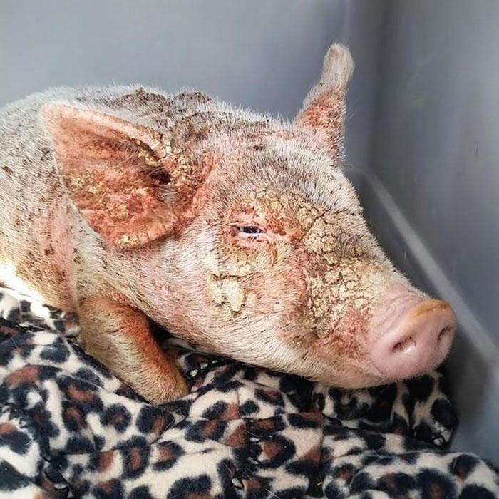 救援人员经检查后发现,这只小猪的免疫系统存在问题,并且有明显遭殴打的痕迹。开始时,小猪在收容所中感到明显不适,且有着自闭倾向,惧怕人类。工作人员称:我们能够感受到它的悲伤。