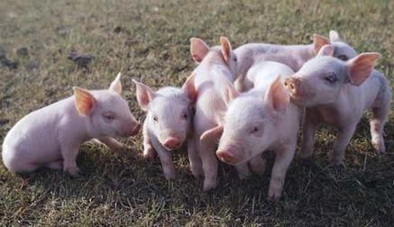 刚出生的健康小仔猪长满绒毛,而且活泼好动,会自己找奶水吃。