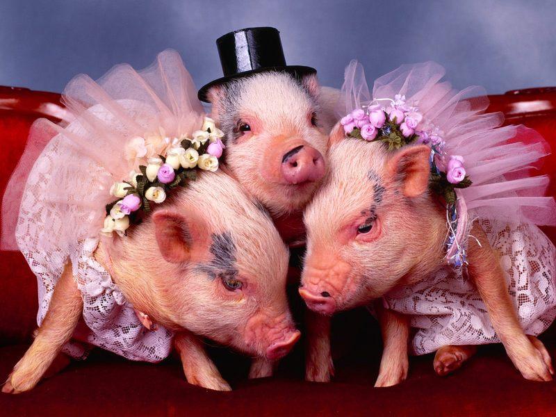 与众不同的猪