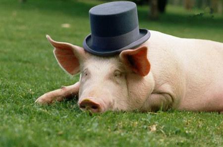 如何对育肥后期的猪进行科学饲养与管理?