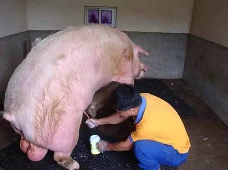 由于猪精子结构的特殊性,使其对渗透压,污染及温度的变化特别敏感,当