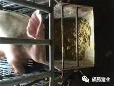 伏天来袭,产房母猪消暑纳凉四大管理要点又双叒叕来了!