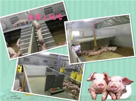 """小猪住上""""复式套间"""",打架、咬尾没有了,还降低了疾病发生"""