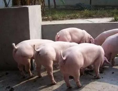 头胎母猪淘汰率偏高的原因和预防措施!