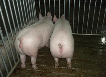 母猪子宫内膜炎的防治措施!