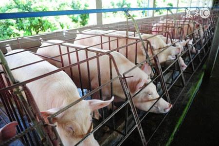 夏季猪场防疫工作这样做,一年多赚几十万不是难事