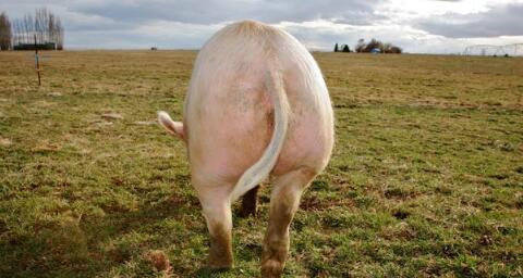 不用药养猪,一个养猪牛人的经验之谈!