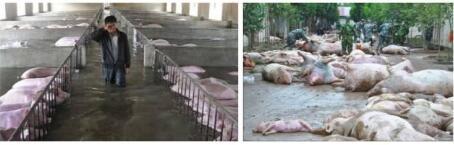 水深火热的7月,猪场如何闯过流感高热的考验