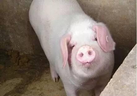 高温即将拉开序幕!怎样让猪安全度暑?