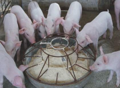 三伏天期间饲料如何调配,养猪人需注意
