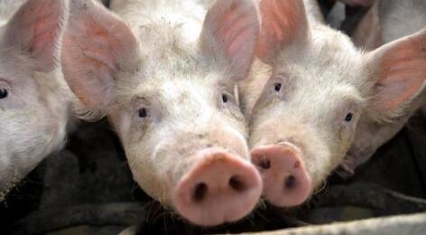 猪价下旬将进入新一轮下跌?不!并非如此!