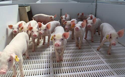 全国多地迎来高温酷暑天气 猪价面临滞涨小跌的风险