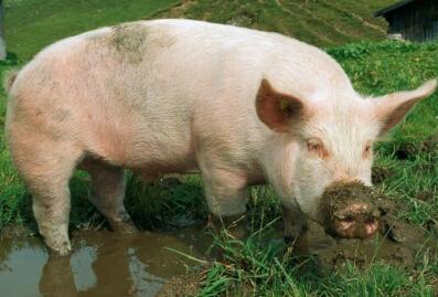 这个老板用文创打通了猪行业6级产业链,年赚4亿!