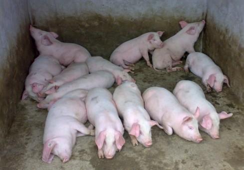 下半年猪价可能会趋于稳定或继续上涨
