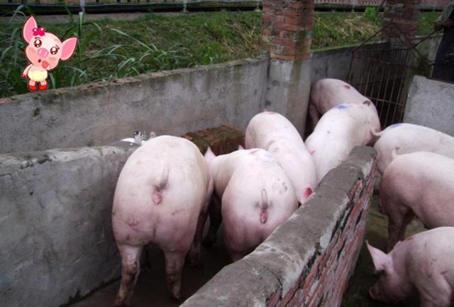 影响猪价涨跌的五大因素,猪价的好与坏与这些息息相关