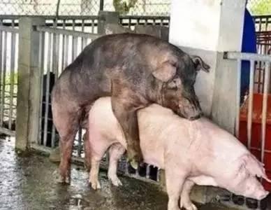 猪的四种配种方式,你都知道吗?