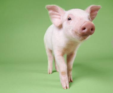 猪场管理六大妙招,聪明的养猪人都在用