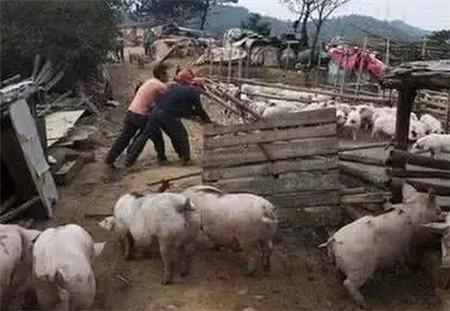 禁养区猪场基本清空,规模猪场扩张明显!